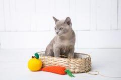 a raça cinzenta do gatinho, o birmanês está sentando-se em uma cesta de vime Brinquedo seguinte feito crochê sob a forma do fruto Fotografia de Stock
