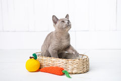 a raça cinzenta do gatinho, o birmanês está sentando-se em uma cesta de vime Brinquedo seguinte feito crochê sob a forma do fruto Fotos de Stock Royalty Free