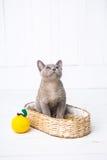 a raça cinzenta do gatinho, o birmanês está sentando-se em uma cesta de vime Brinquedo seguinte feito crochê sob a forma do fruto Imagem de Stock Royalty Free
