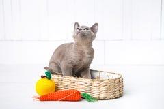 a raça cinzenta do gatinho, o birmanês está sentando-se em uma cesta de vime Brinquedo seguinte feito crochê sob a forma do fruto Imagens de Stock Royalty Free