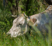 A raça da vaca de Vaca Marinera Imagem de Stock