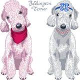 Raça de Bedlington Terrier do cão do vetor ilustração do vetor