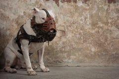 Raça de bull terrier do cão doméstico Focalize no focinho do cão, profundidade de campo rasa Fotografia de Stock Royalty Free