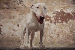 Raça de bull terrier do cão doméstico Focalize no focinho do cão, profundidade de campo rasa Imagem de Stock Royalty Free