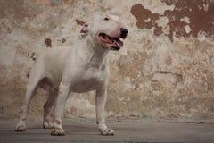 Raça de bull terrier do cão doméstico Focalize no focinho do cão, profundidade de campo rasa Fotos de Stock Royalty Free