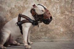 Raça de bull terrier do cão doméstico Focalize no focinho do cão, profundidade de campo rasa Foto de Stock Royalty Free
