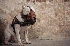Raça de bull terrier do cão doméstico Focalize no focinho do cão, profundidade de campo rasa Fotos de Stock