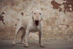 Raça de bull terrier do cão doméstico Focalize no focinho do cão, profundidade de campo rasa Imagens de Stock
