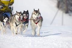 Raça de cão de trenó em Lenk/Switzerland 2012 Fotografia de Stock Royalty Free