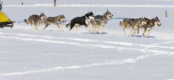 Raça de cão de trenó em Lenk/Switzerland 2012 Imagens de Stock