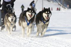 Raça de cão de trenó em Lenk/Switzerland 2012 Imagem de Stock