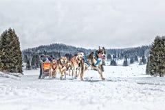 Raça de cão de trenó na neve no inverno Imagens de Stock