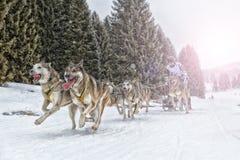 Raça de cão de trenó na neve no inverno Imagem de Stock Royalty Free