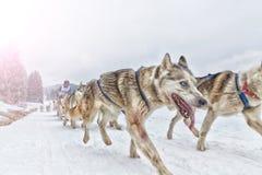 Raça de cão de trenó na neve no inverno Fotos de Stock