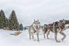 Raça de cão de trenó na neve no inverno Foto de Stock