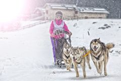 Raça de cão de trenó na neve no inverno Fotografia de Stock