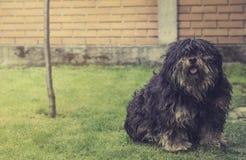 Raça de cabelos compridos do cão Fotografia de Stock Royalty Free