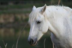 Raça de Camargue do cavalo Imagem de Stock