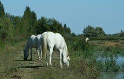 Raça de Camargue dos cavalos Fotos de Stock Royalty Free