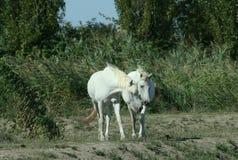 Raça de Camargue dos cavalos Foto de Stock Royalty Free