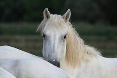 Raça de Camargue dos cavalos Fotos de Stock