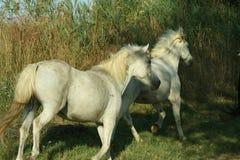 Raça de Camargue dos cavalos Imagens de Stock