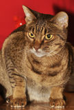Raça de Ocicat do gato Fotografia de Stock