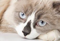 Raça de Ragdoll do gato Fotografia de Stock