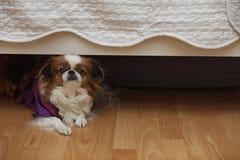Raça decorativa dos cães Um cão doméstico pequeno O cão sob o th fotografia de stock