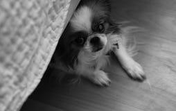 Raça decorativa dos cães Um cão doméstico pequeno O cão sob o th foto de stock