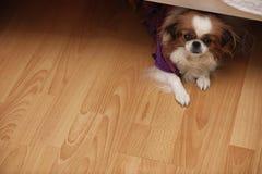 Raça decorativa dos cães Um cão doméstico pequeno O cão sob o th fotos de stock
