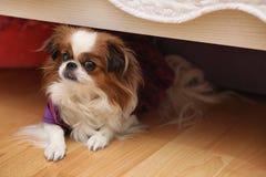 Raça decorativa dos cães Um cão doméstico pequeno O cão sob o th imagens de stock royalty free