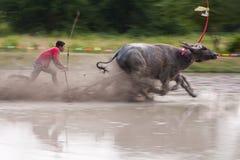 Raça do búfalo Fotografia de Stock