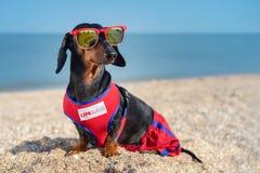 A raça do bassê do cão, preto bonito e bronzeado, em uma vida azul vermelha Guarde da veste e em óculos de sol vermelhos, sentam- fotografia de stock