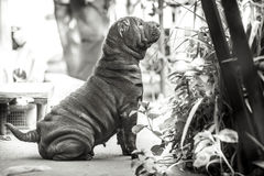 Raça do cão de Shar Pei Imagem de Stock