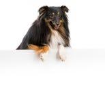 Raça do cão de Sheltie Fotografia de Stock