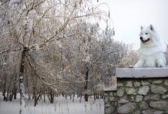 Raça do cão do Samoyed no inverno Foto de Stock