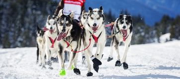 Raça do cão na neve Imagem de Stock Royalty Free
