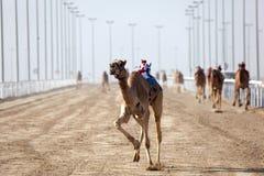 Raça do camelo em Doha, Qatar imagens de stock royalty free
