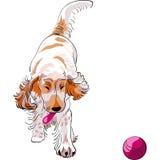 A raça do cockerSpaniel do cão joga com uma esfera vermelha Foto de Stock Royalty Free