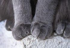 Raça do gato azul do russo imagens de stock