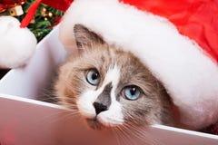 Raça do gato de Ragdoll em um fundo do Natal Foto de Stock Royalty Free