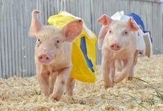 Raça do porco Fotografia de Stock Royalty Free