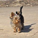 Raça do yorkshire terrier na costa Fotografia de Stock