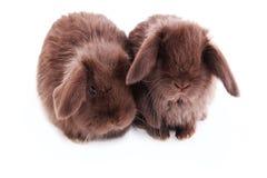 Raça dos coelhos do ` francês dos carneiros do ` Imagens de Stock Royalty Free