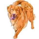 Raça engraçada divertida Nova Scoti do cão do esboço do vetor Imagem de Stock Royalty Free