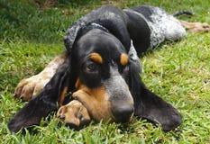 Raça francesa da caniche 6Pure pouco filhote de cachorro azul do hound de Gasconha Fotos de Stock