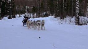 Raça Hasky dos cães vídeos de arquivo