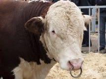 Raça Hereford de Bull Imagem de Stock