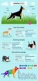 Raça Infographics dos cães Imagens de Stock